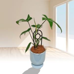 Philodendron Goeldii Plant